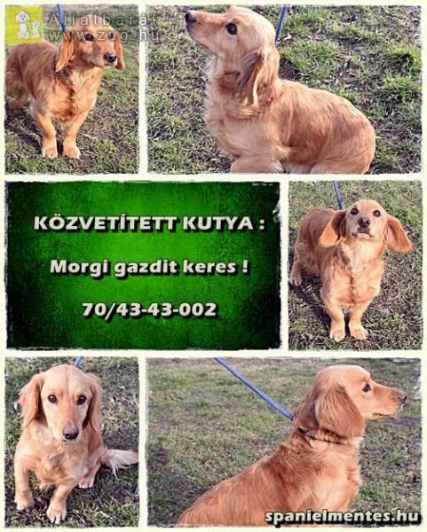 Morgi egy 2011. januári születésű vörös spániel keverék kan.