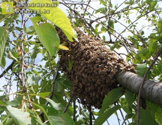 Kirajzott méheket mentettünk