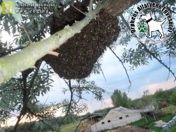 Pánik a kirajzott méhek miatt - méhraj mentés