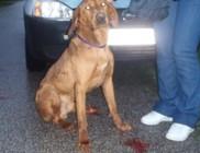 Véres riadalom: Rezső kutya vérzését sikeresen elállítottuk