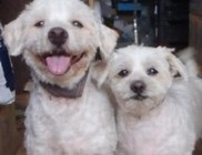 Utcáról szedtük össze Micut és Babart, a bichon havanese kutyusokat