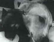Fejátültetés - durva állatkísérletekkel szervtranszplantációs próba a 60-as években