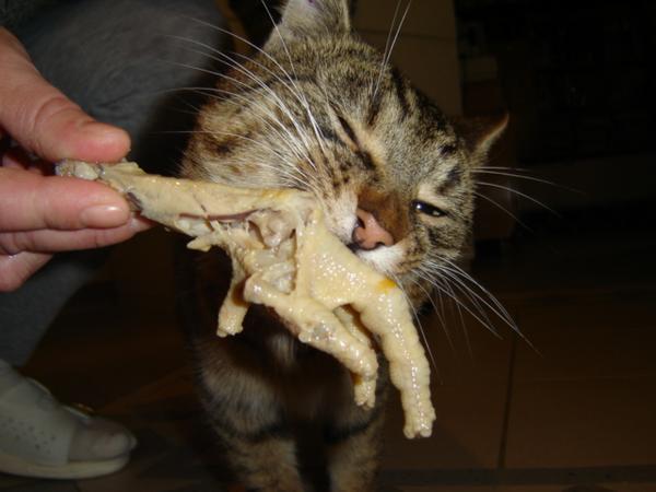 Raffaello és a kaja....itt éppen egy csirkelábat eszik...:)