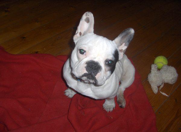 Fio Francia Bulldog
