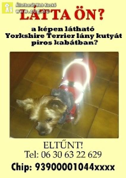 """Yorkshire Terrier \""""segítő\"""" kutya eltűnt"""