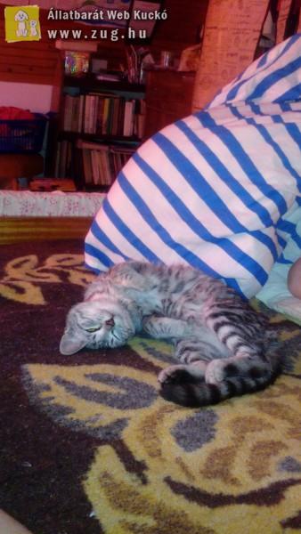 Ingyen elvihető cica sürgősen