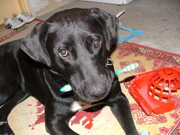 Bogi, a mindenevõ kutya; avagy Bogi fogkefével