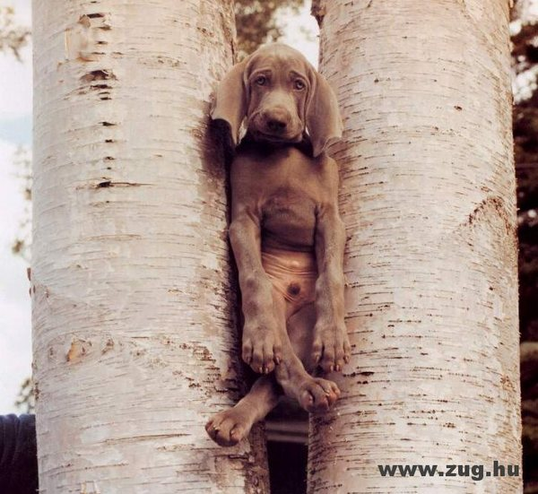 Kutyaszorító
