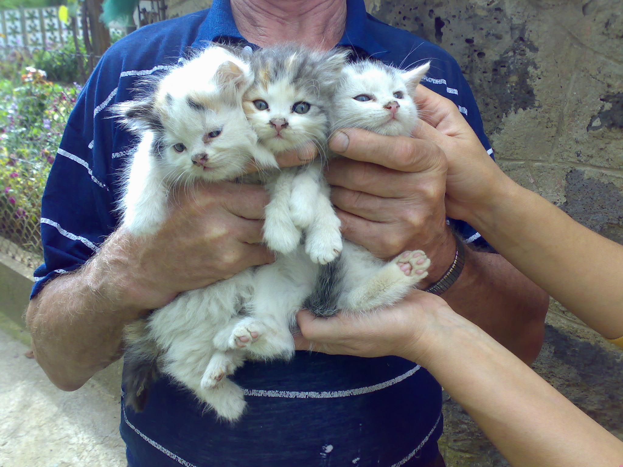 Hosszúszõrû félperzsa kiscicák