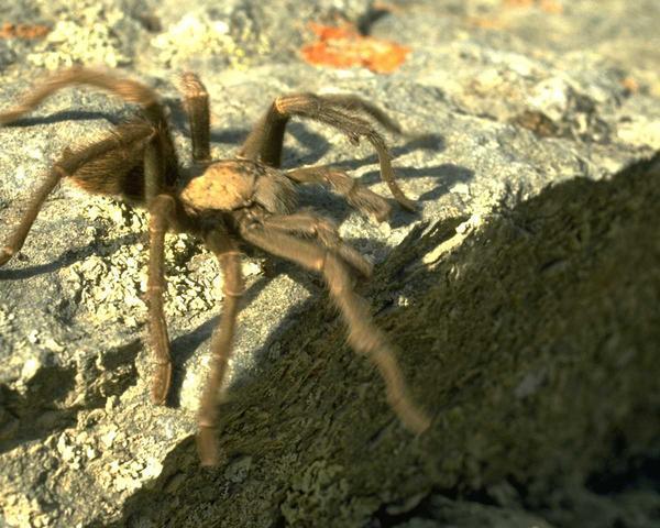 Mérges pók