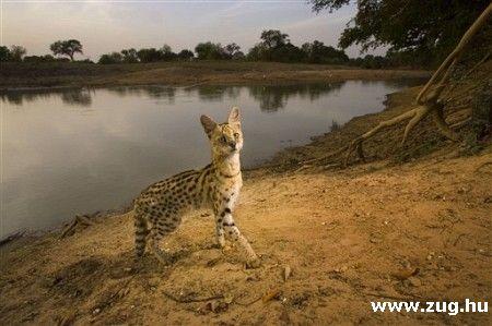 Szervál, az afrikai bozótmacska