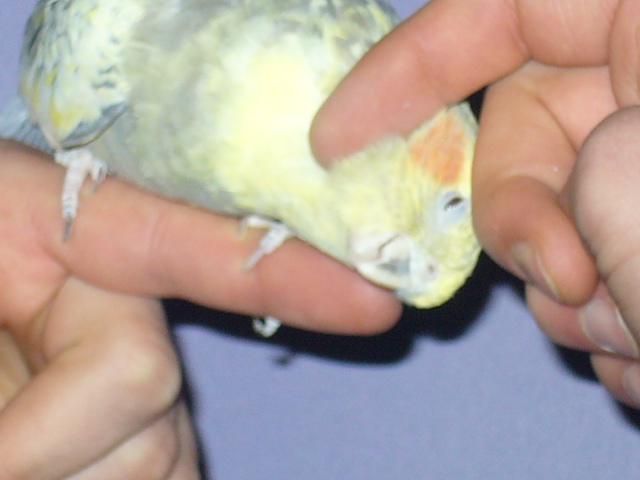 Nimfász Papabáj