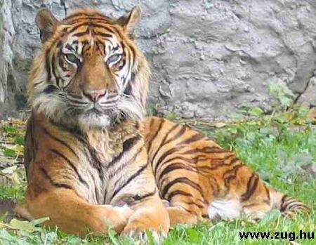 Dél-kínai tigris