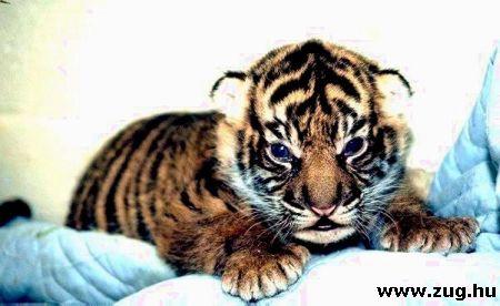 Kéthetes tigriskölyök