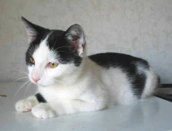 Szendi cica - egyik a három testvér közül, akinek gazdit keresek
