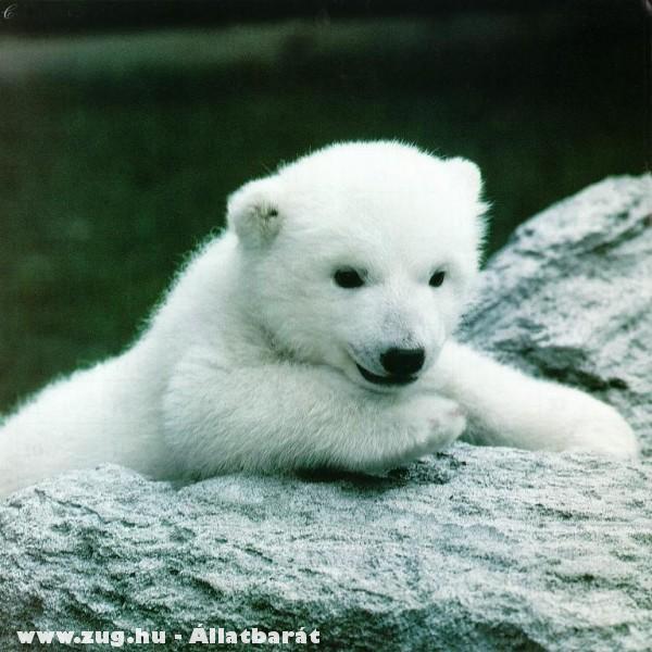 A pici jegesmedve