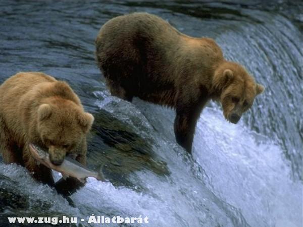 Horgásznak a medvék