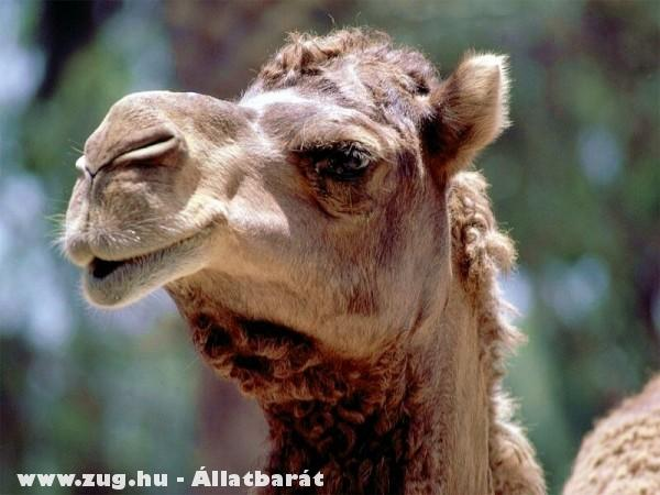 Camel - puposteve