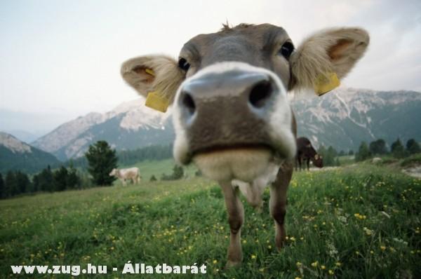 Alpesi tehenek legelnek