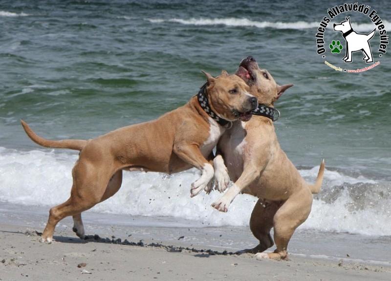 Pitbull barátság :)