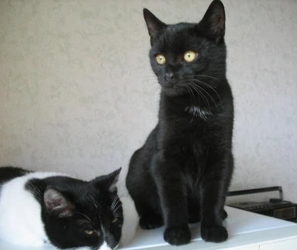Kormi cica - egyik a három testvér közül, akinek gazdit keresek