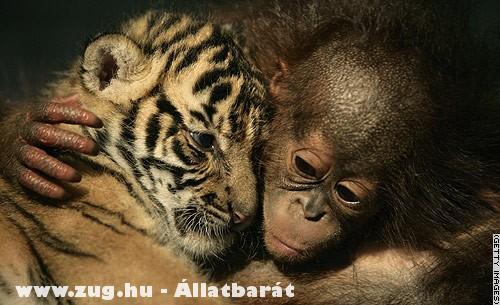A tigris és az orángután
