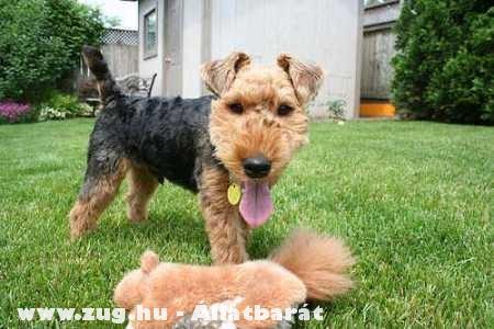 Welsh Terrier kutyuli
