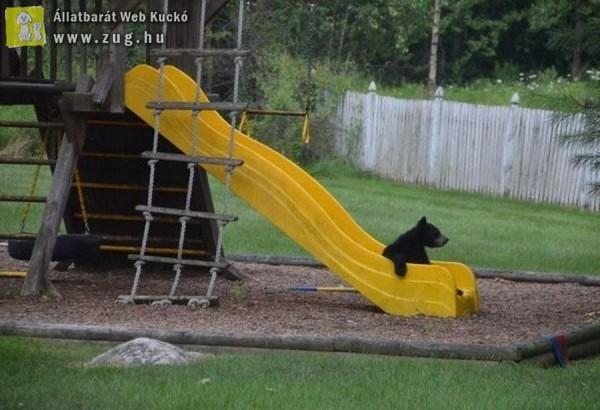 Csúszdázó medve