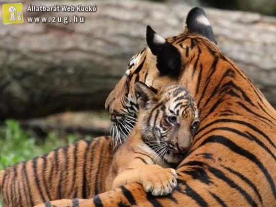 Cuki tigrisek