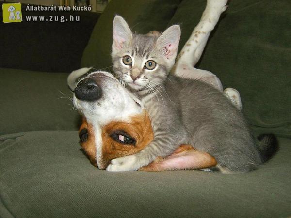 Harcias cica