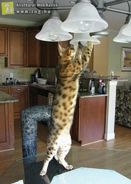Házias cica, még a villanykörtét is kicseréli
