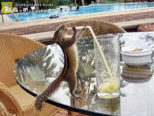 Iszogató mókus