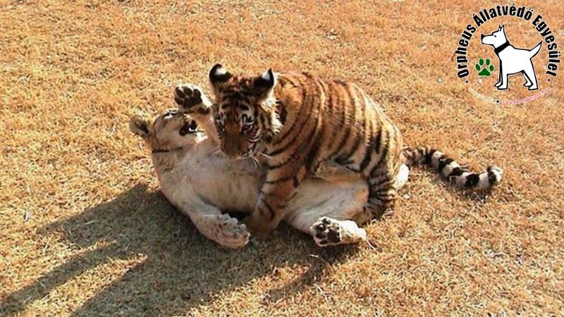 Játszadozó tigrisek
