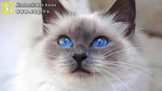 Kékszemű cicus
