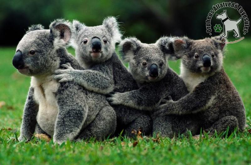 Koala család