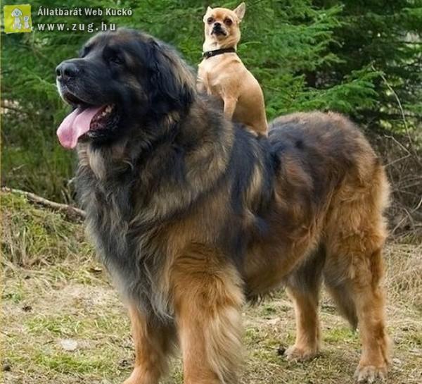 Kutya kutya hátán