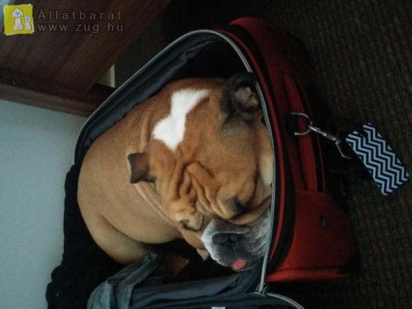 Kutyus a bőröndbe