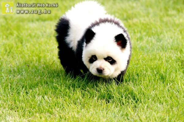 Kutyus vagy panda