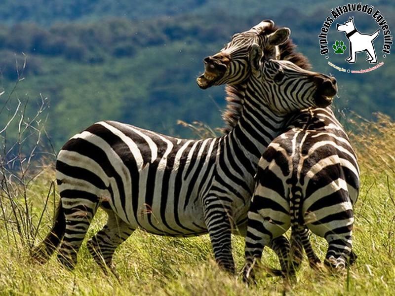 Ölelkező zebrák