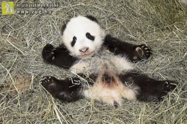 Óriáspanda kölyök a bécsi állatkertben