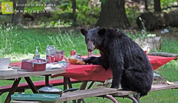 Picknikező medve