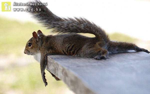 Pihenő mókus