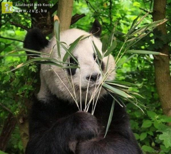Rejtőzködő panda