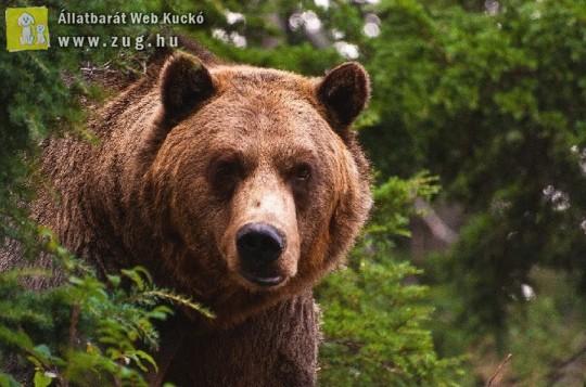 Settenkedő medve