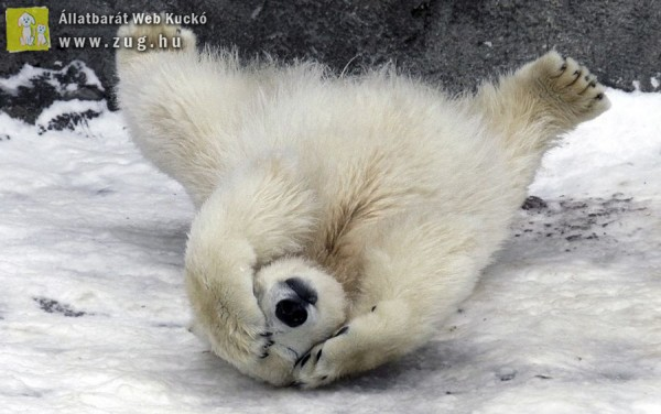 Szégyenlős jegesmedve
