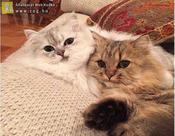 Szőrgombóc cicák