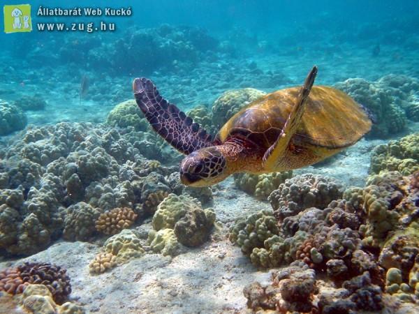 Teknős a víz alatt