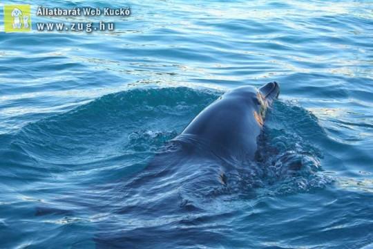 Úszkáló delfin