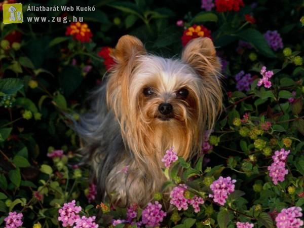 Yorki a virágos kertben
