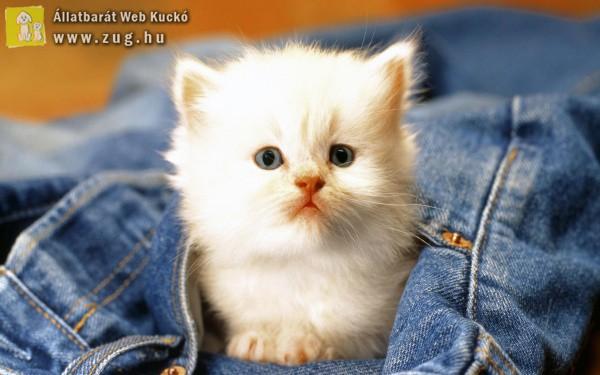 Zsebbe cica
